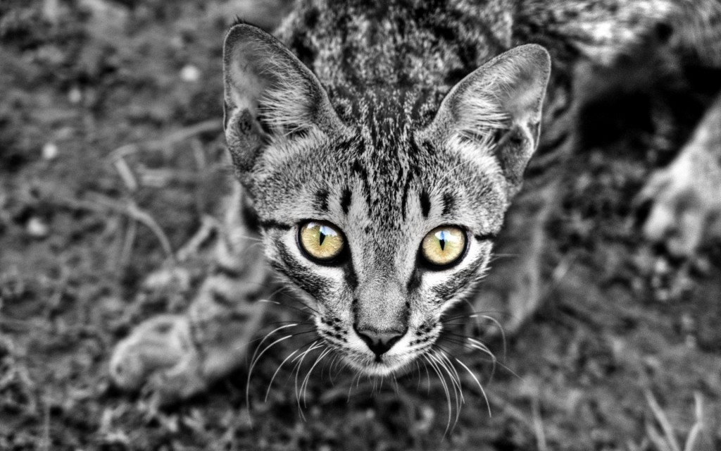 Wild_Cat_Cub